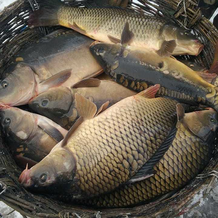 комбикорм для карповых рыб