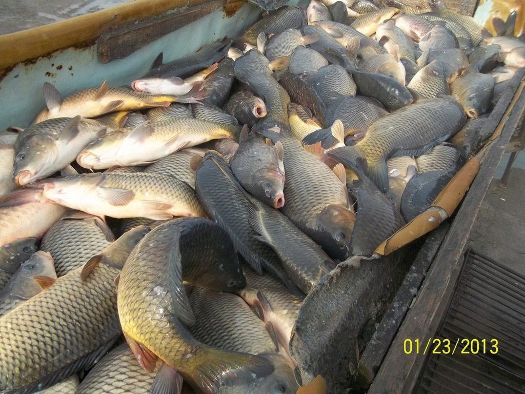 Продажа живой рыбы в ростовской области