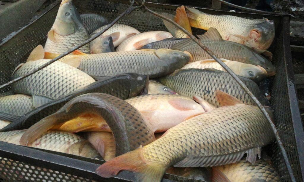карп рыбы фото