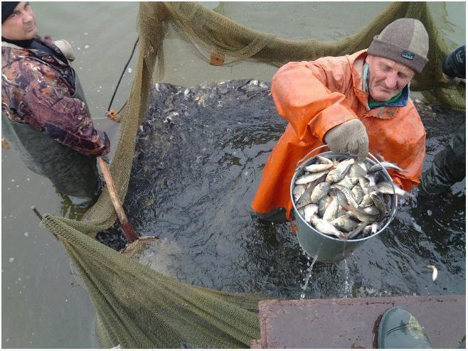 Выращивание толстолобик в пруду